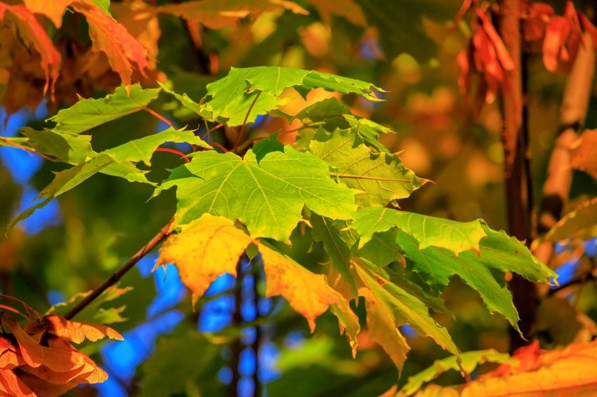 Maple leaves Naturephotography Beautifulnature Beautyofnature Naturebeauty Moment Capture Composition Forestphotography Vine - Plant Luminosity Rural Scene Branch Tree Fruit Beauty Leaf Wine Autumn Leaves Fall