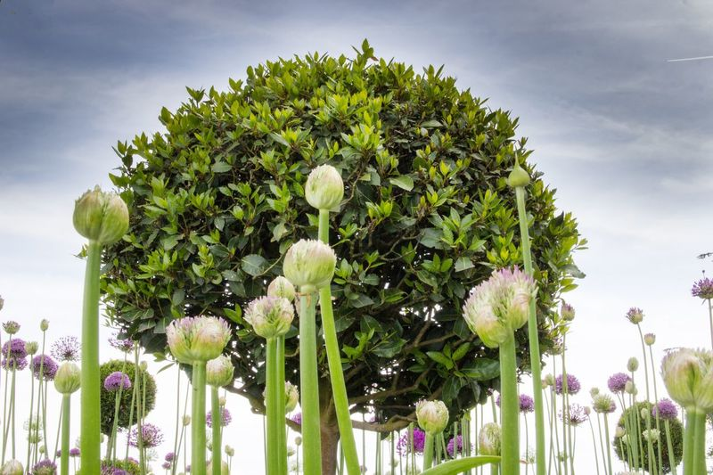 Growth Flower Nature Sky Cloud - Sky Beauty In Nature Day Outdoors Tree No People Low Angle View Green Color Plant Fragility Freshness Architecture Ladyphotographerofthemonth Allium Flower Allium Buchs Buchsbaum Landscape Blooming Flower Head Field