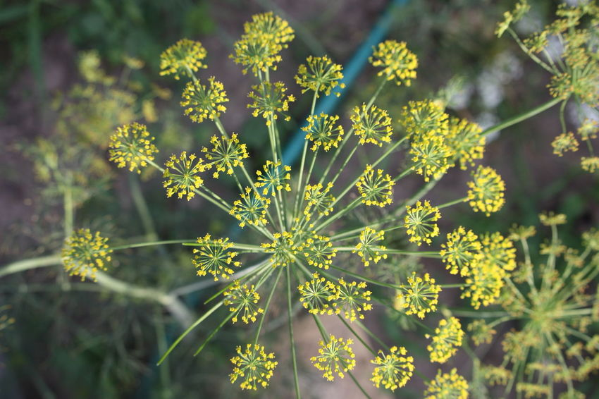 Dill Flowers Eating Gewürze Green Nature Plant Close-up Nahaufnahme Spice Yellow