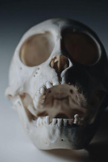 monkey skull on white background Bones Death Clean Skull Teeth White Background