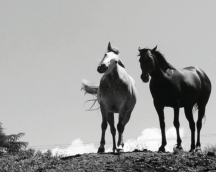 Horses Nature Mountains Alpe Di Siusi Black And White Opposites