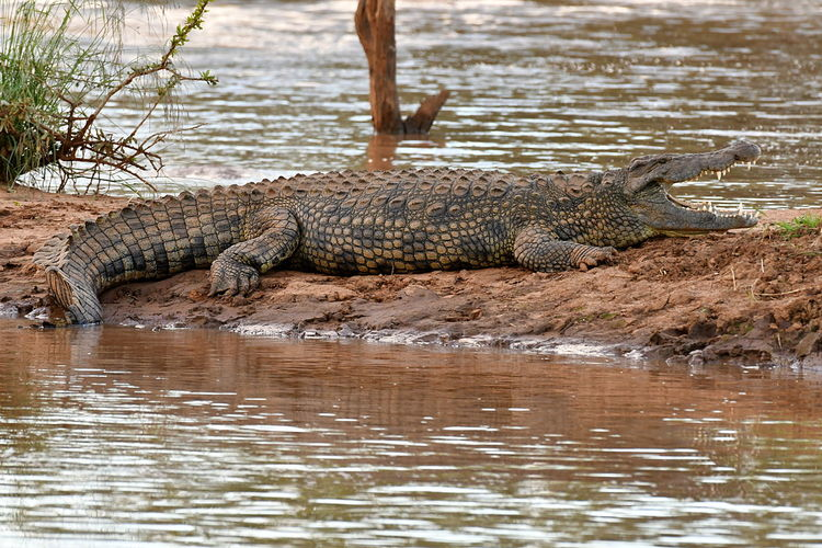 Alligator Animal Animal Themes Animal Wildlife Animals In The Wild Crocodile Day Nature No People One Animal Outdoors Reptile Riverbank Swamp Water EyeEmNewHere