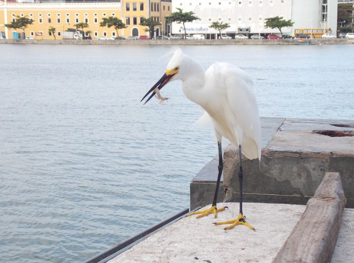 Garça Bird Water Lake Perching Pelican Water Bird