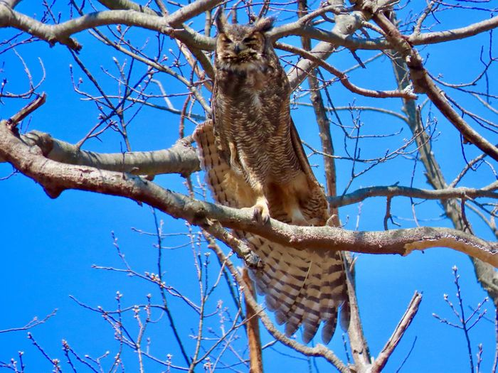 Great horned owl perched on a bare tree branch stretching his wing birdwatching Birds of EyeEm Birds of prey beauty in nature EyeEm nature lover blue skies animal themes Low Angle View Animal Wildlife No People