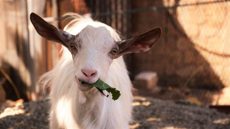 Close-Up Of Goat Chewing A Leaf