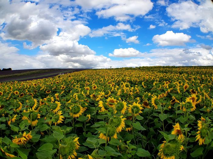 Cloud - Sky Agriculture Field Growth Sky Crop  Rural Scene Farm Flower Nature Plant Day Blue Tranquility Landscape Beauty In Nature No People Scenics Freshness Outdoors Sunflower Yellow