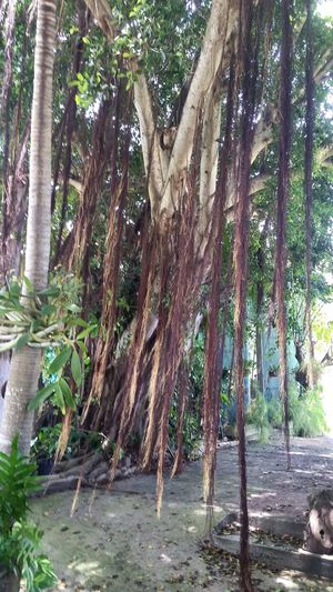 Ficus Tree Tree Tree Trunk Day Outdoors Nature Growth No People Tranquility Mobile Photography St. Croix USVI