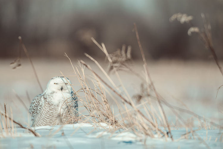 Snowy owl Snowy