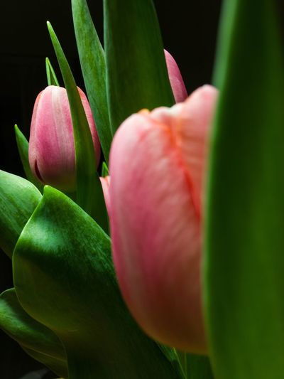 Pink tulips are