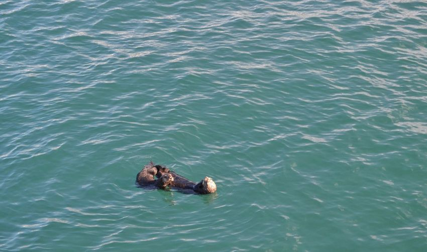Floating In Water Swimming Otters Mother And Baby Otter Ocean Animal Animal Themes Water Mammal Animal Wildlife High Angle View Sea Animals In The Wild No People Swimming Day Vertebrate Nature Group Of Animals Waterfront Outdoors Two Animals Marine Animal Family