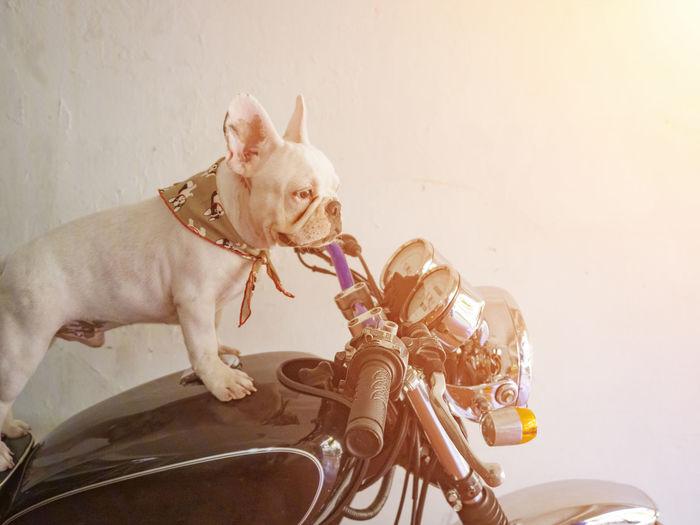 Portrait of a dog with bicycle