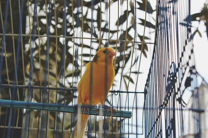 Animal Themes Yellow Bird Cage One Animal Animals In The Wild Budgerigar No People Nature Indoors  Perching Day Close-up Freedom Pet Portraits Paint The Town Yellow