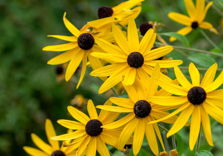 bright yellow flowers with brown centers called shorthair coneflowers