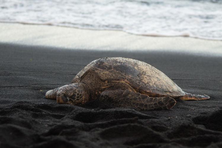 Hawaii Animal Themes Animal Wildlife Animals In The Wild Beach Beauty In Nature Black Sand Beach One Animal Reptile Sand Sea Sea Life Sea Turtle Turtle Big Island