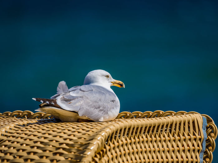 Seagull perching on wicker