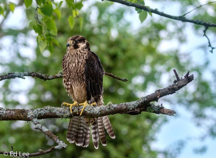 Peregrine Falcon Falcon Bird Bird Photography Streamzoofamily Malephotographerofthemonth Animals In The Wild Animal Wildlife Animal Animal Themes Bird Perching Tree Beauty In Nature Nature One Animal Bird Of Prey Outdoors
