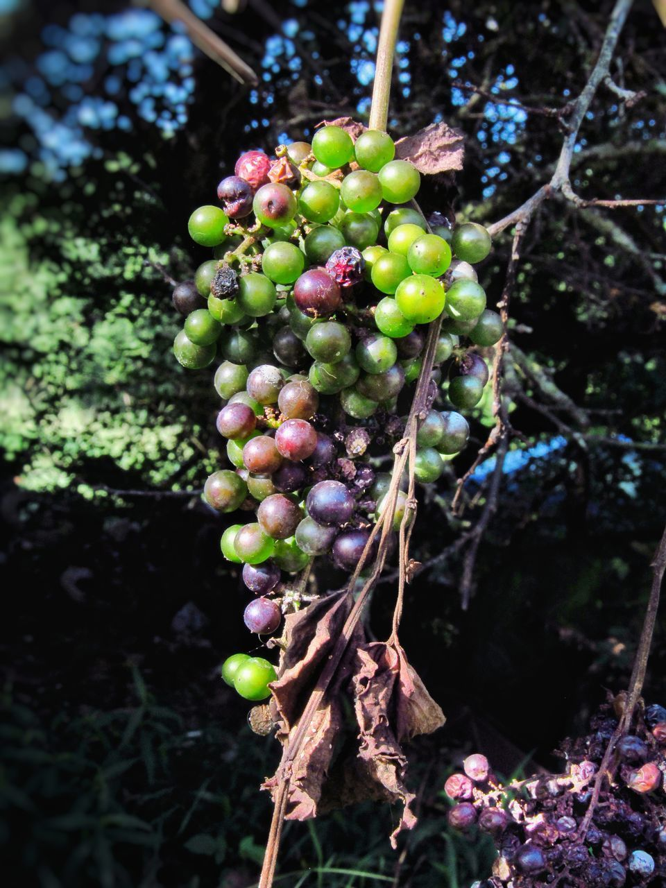 food and drink, food, fruit, growth, healthy eating, plant, freshness, tree, nature, close-up, no people, day, green color, agriculture, selective focus, hanging, focus on foreground, leaf, plant part, wellbeing, outdoors, ripe, plantation, winemaking