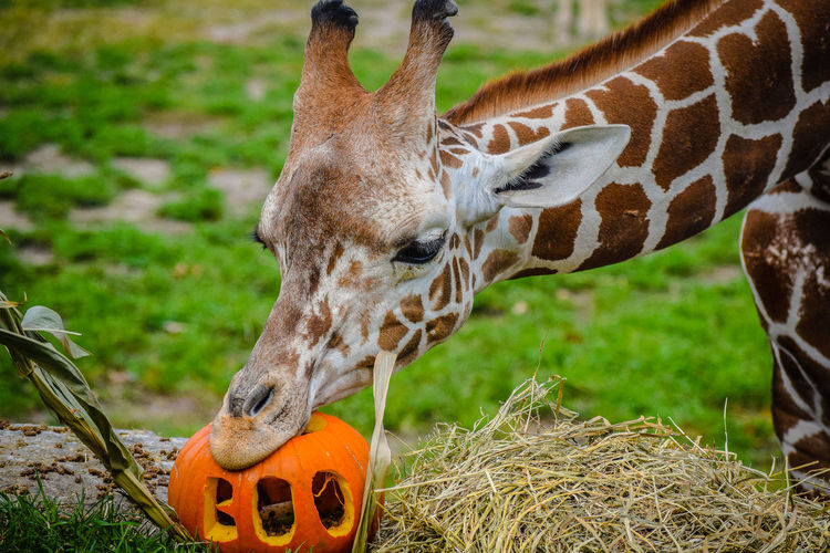 Boo Day Giraffe Mammal Orange Outdoors Pumpkin Zoo