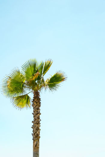 a lone palm tree on clear blue sky A Lone Palm Tree On Clear Blue Sky Palm Tree Sky Low Angle View Clear Sky Tropical Climate Copy Space Plant Nature Growth Tree Tall - High No People Blue Trunk Tree Trunk Beauty In Nature Day Coconut Palm Tree Outdoors Tranquility Tropical Tree Palm Leaf