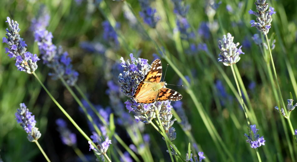 Beauty In Nature Butterfly Butterfly - Insect Flower Focus On Foreground Nature Outdoors Wildlife