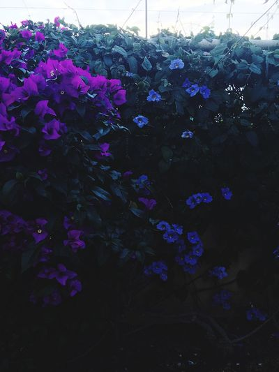 Flower Nature Beauty In Nature Fragility Plant Growth Petal Purple Botany Freshness Blossom Environment No People Flower Head Day Outdoors Tranquility Blooming Close-up