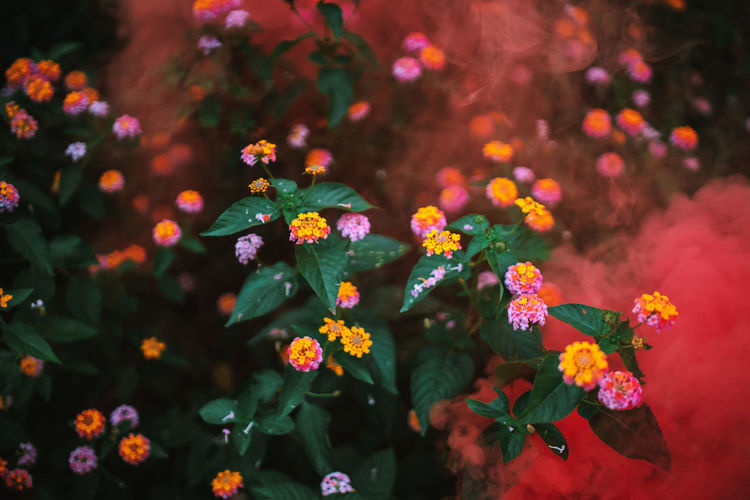 Beautiful Smoke color.🔮🎃 Celebration Christmas Flowering Plant Smoke Beauty In Nature Close-up Day Flower Flower Head Flowering Plant Flowers Focus On Foreground Fragility Freshness Green Color Growth Inflorescence Nature No People Outdoors Park Park - Man Made Space Petal Plant Vulnerability