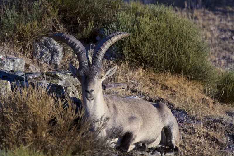Beautiful Nature Cabra Montes Peña De Francia, Salamanca, Spain Animal Themes Animal Wildlife Animals In The Wild Beauty In Nature Nature