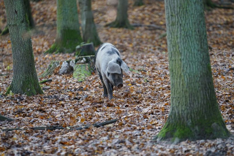 Pig in the Forest Pig Animal Wildlife Animals In The Wild Vertebrate One Animal Land Field No People Nature Day Plant Tree Outdoors
