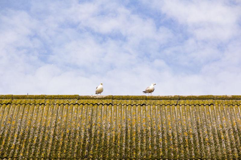 Howth Seagulls