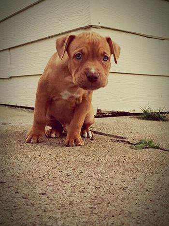 Pets Dog One Animal Animal Themes Domestic Animals Looking At Camera Outdoors Hungry Puppy My Dogs Are Cooler Than Your Kids EyeEm 🐾 D O G S Cute Dog  My Dog Is Cooler Than Your Kid. PuppyLove Puppy Love Puppy❤ Puppys Puppies! Puppy Love ❤ Puppylife Rescuedog Puppypower Puppy Puppies Pitbull