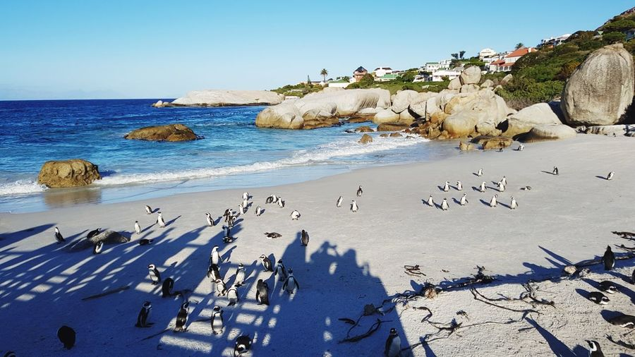 Happy feet at Boulders Beach, South Africa South Africa Western Cape Penguins Penguin Boulders Beach Ocean Ocean View Beach Beachphotography Beach Life African Penguin Rocky Coastline Rocky Beach EyeEm Selects Water Sea Beach Clear Sky Swimming Sand Blue Wave Rock - Object Summer Flock Of Birds Large Group Of Animals Seascape