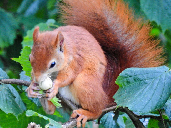 One Animal Animal Themes Mammal Animals In The Wild Day Animal Wildlife No People Close-up Nature Outdoors Domestic Animals Squirrel Forest Beauty Beauty In Nature Tree Eating Portrait Nikon P900 Nikonphotography Nikon Nikon Photography