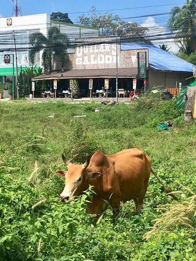 Grass Domestic Animals Animal Themes Mammal Cow Architecture Livestock