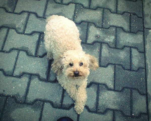 Dog Doggie Playing With The Animals So Cute Doglife Pudel Pudelek Poodle Poodle🐩 Piesek<3