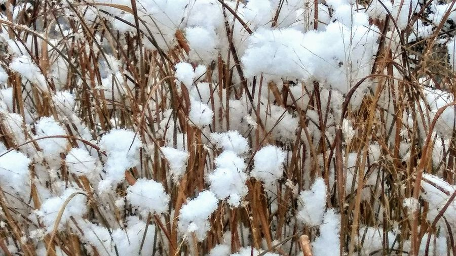 First snow 2017 ~ Winter Snow Cold Temperature Nature White Color Day Weather Outdoors Growth No People Tranquility Frozen Beauty In Nature Low Angle View Backgrounds Close-up Dried Grasses Colors Of Life My Point Of View Happy Day Walking Around Town Looking For Inspiration Lovemycity Naturelover Firstsnow in