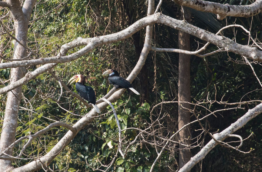 Rhyticeros undulatus The wreathed hornbill also known as the bar-pouched wreathed hornbill. It is 75–100 cm (30–39 in) long. Males weigh from 1.8 kg (4.0 lb) to 3.65 kg (8.0 lb), and females weigh from 1.36 kg (3.0 lb) to 2.7 kg (6.0 lb). It can be easily recognised by the dark bar on the lower throat (hence the alternative common name, bar-pouched). You may noticed during mating the male will offer 'gifts' to female. Birds Mating Hornbill Rhyticeros Undulatus The Wreathed Hornbill The Wreathed Hornbills Mating Bar-pouched Wreathed Hornbill Large Bird Long-lived Bird Wild Bird