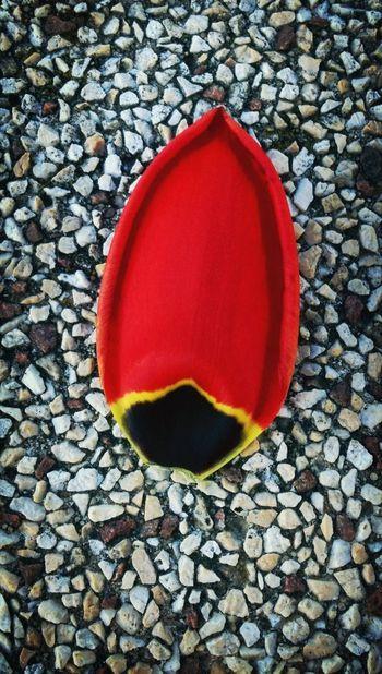Tulipes Rouge.