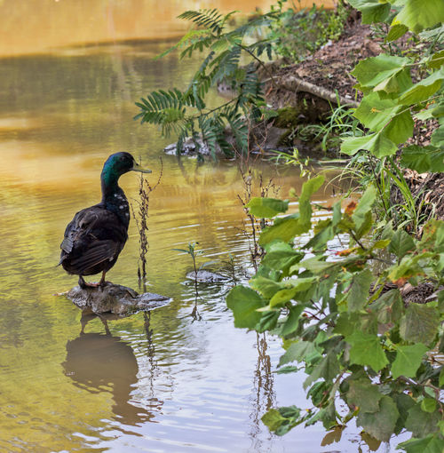 Duck Reflection Animal Animal Themes Animal Wildlife Animals In The Wild Bird Day Duck Duck On Rock Duck Reflection Leaf Nature No People One Animal Plant Reflection Tree Vertebrate Water