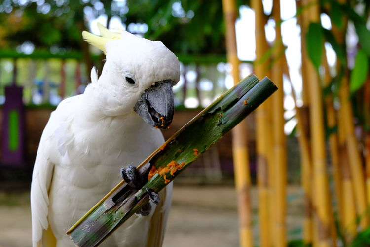 Close-up of cockatoo eating food