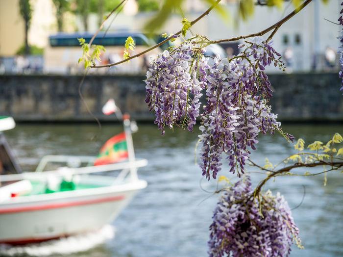 Cherry blossom tree by river