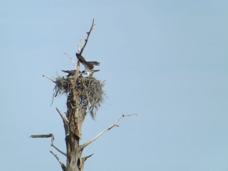 Birds In A Tree Dead Tree Dead Tree Giving Life Low Angle View Osprey Nest  Ospreys Feeding The Babies The Giving Tree Wings Spread Stormwater Park, Sebastian, FL
