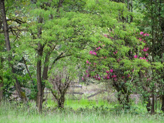 Roadside Trees and Broken Fence Cloudy Fuchsia Green Horizontal Morning Nature Shady Backwoods Blossoms  Broken Fence Fence Flowering Bush Flowering Tree Foliage Hidden Magenta Flower Moody Mysterious No People Outdoors Overcast Spring Springtime Trespass Woods