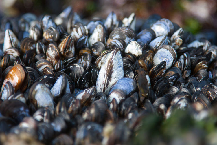 Close-up of mussels