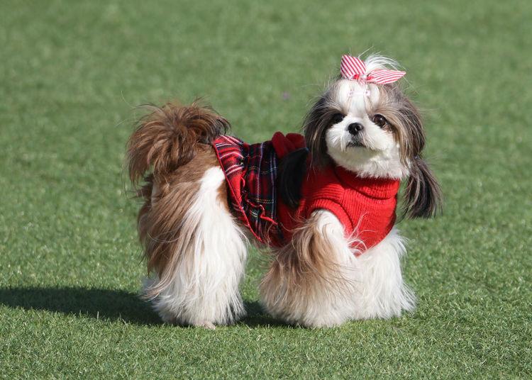 One Animal Animal Themes Dog Canine Animal Mammal Small Shih Tzu Pets No People Pretty