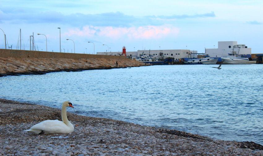 Cisne frente al mar Cisne Cisne Blanco Beach Paseo Maritimo Paseo Altea Sea Water Animal Wildlife Animal Themes Water Bird Nature No People Sky Swan Altea, Spain