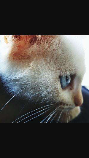 Gatas Gata Cats Gatos Garfield AndreLimaAnimal Animals Beautiful UaU White White Color Branco Cat♡ Cat Lovers Eyesblue Cat Azul Gato Coloridos Linda Perfect Pet