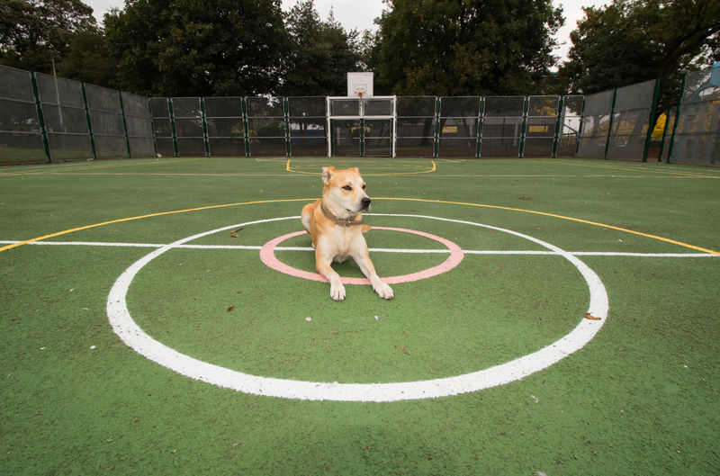 Dog sitting on basketball court against trees