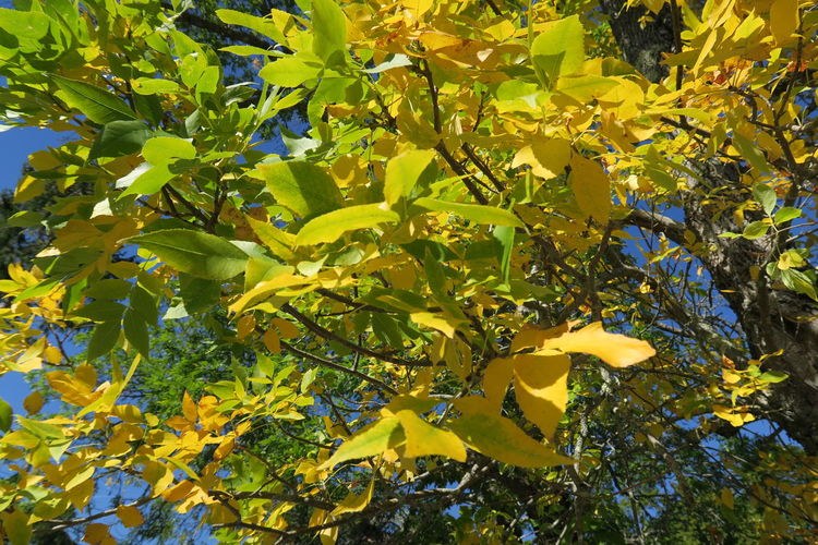 Acadia National Park, ME EyeEmNewHere Maine New England  USA Bass Harbor Beauty In Nature Blue Sky Branch Close-up Day Flower Foliage Fragility Freshness Green Color Growth Indian Summer Leaf Nature No People Outdoors Plant Tree Yellow