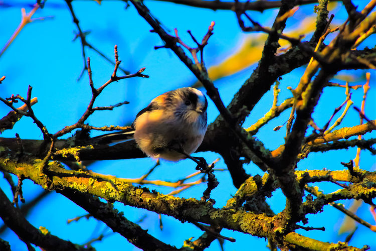 Animal Themes Animal Wildlife Animals In The Wild Beauty In Nature Bird Branch British Long Tailed Bird Day Low Angle View Nature No People One Animal Outdoors Perching Tree