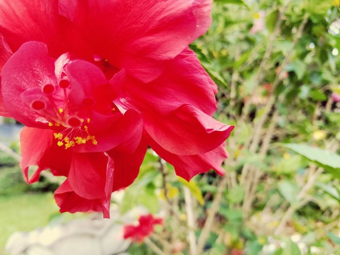 Hibiscus Flowers Red Red Flower Nature H. Rosa-Sinensis Green Texas Colour Of Life